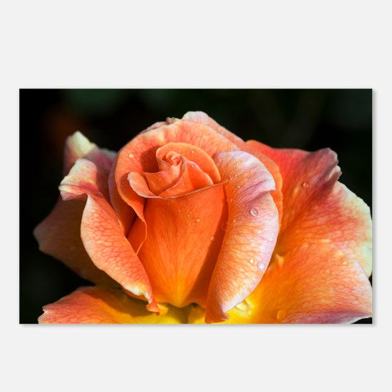 Hybrid tea rose (Rosa 'Can-Can') - Postcards (Pk o