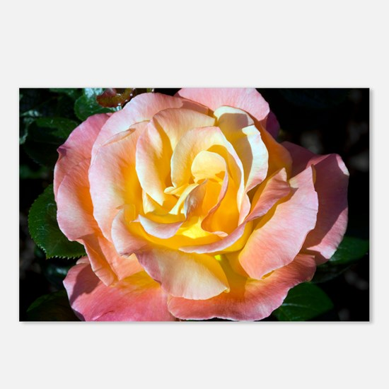 Hybrid tea rose (Rosa 'Fulton MacKay') - Postcards