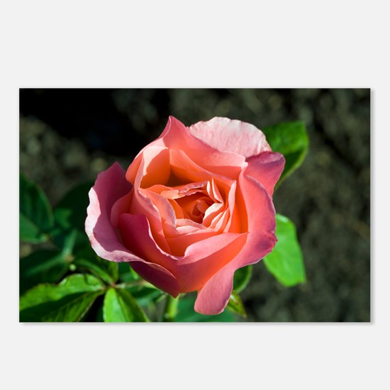 Hybrid tea rose (Rosa 'Lovely Lady') - Postcards (