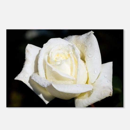 Hybrid tea rose (Rosa 'Polar Star') - Postcards (P
