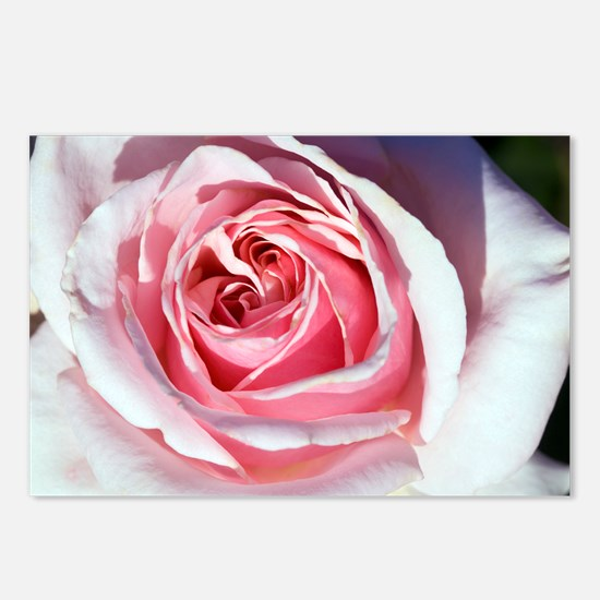 Hybrid tea rose (Rosa 'Savoy Hotel') - Postcards (