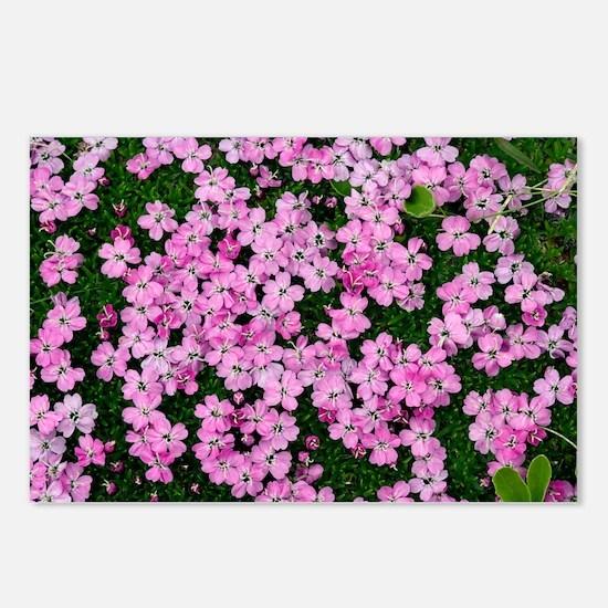 Moss Campion (Silene acaulis) - Postcards (Pk of 8
