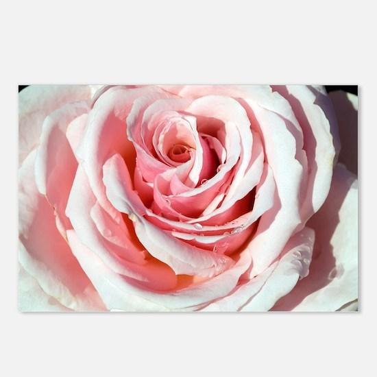 Rose (Rosa 'Savoy Hotel') - Postcards (Pk of 8)