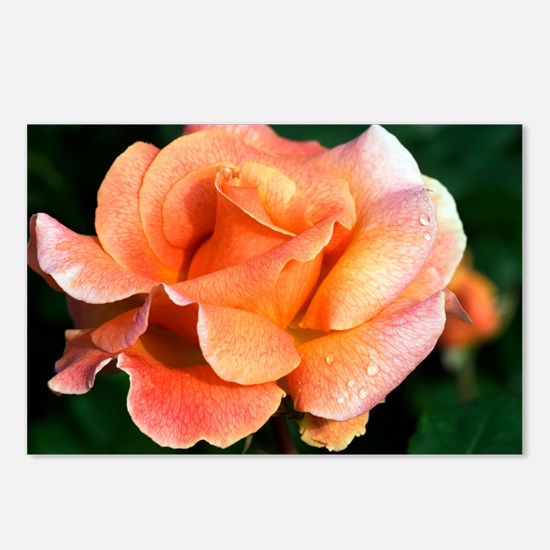 Rose (Rosa 'Can-Can') - Postcards (Pk of 8)