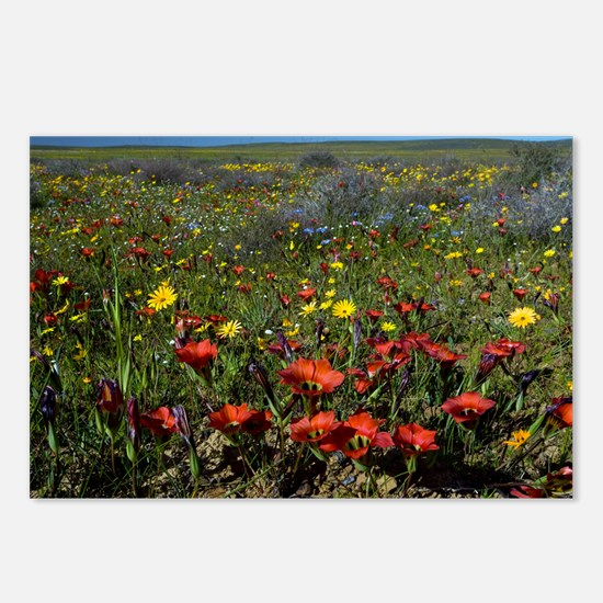 South African wildflowers - Postcards (Pk of 8)