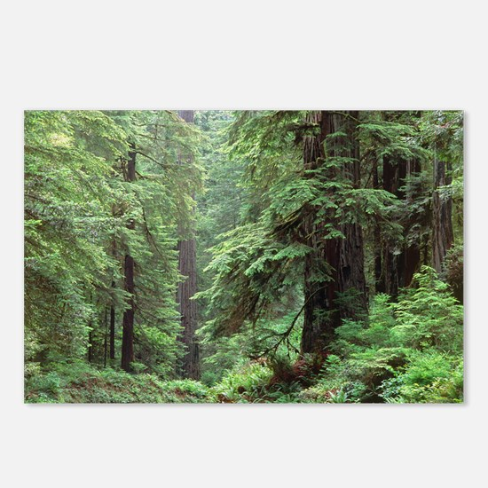 Hemlocks and redwoods in a North American forest -
