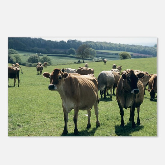 Jersey cows - Postcards (Pk of 8)