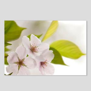 Yoshino cherry (Prunus x yedoensis) - Postcards (P