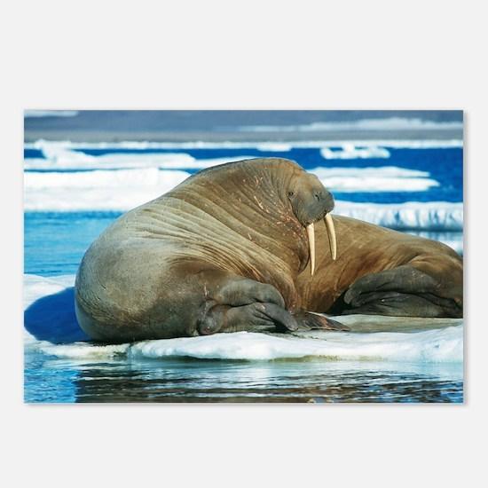 Atlantic walrus - Postcards (Pk of 8)
