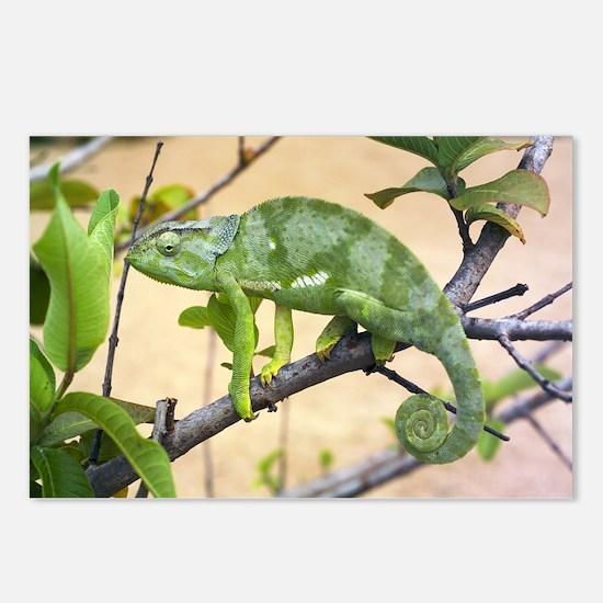 Flap-necked chameleon - Postcards (Pk of 8)
