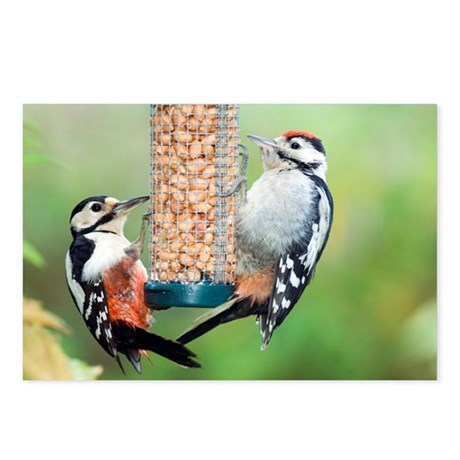 Great spotted woodpeckers feeding - Postcards (Pk