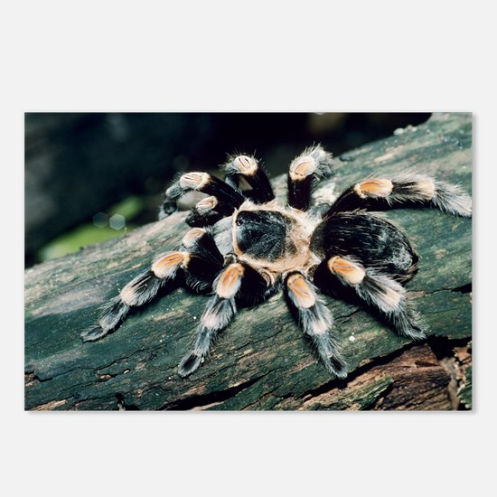 Mexican redknee tarantula - Postcards (Pk of 8)