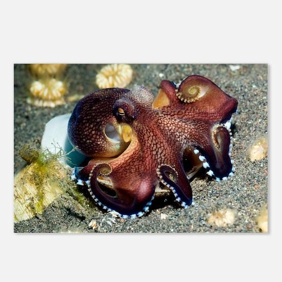 Veined octopus feeding - Postcards (Pk of 8)