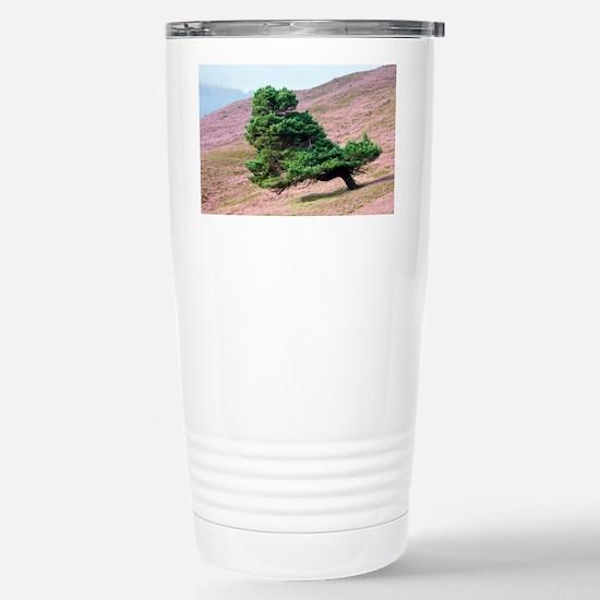 Scots pine tree (Pinus sylvestris) - Stainless Ste