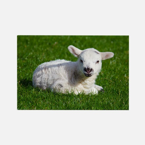 Baby lamb Rectangle Magnet