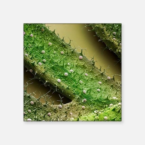 French lavender leaf surface, SEM - Square Sticker