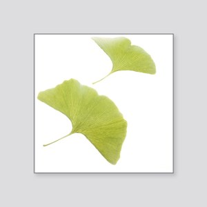 Maidenhair leaves (Ginkgo biloba) - Square Sticker