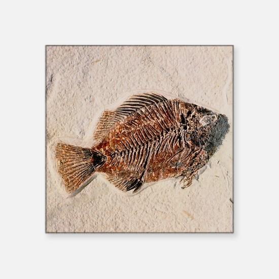 Fossilised fish, Priscacara serata - Square Sticke