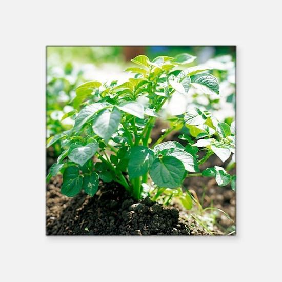 Potato plant - Square Sticker 3