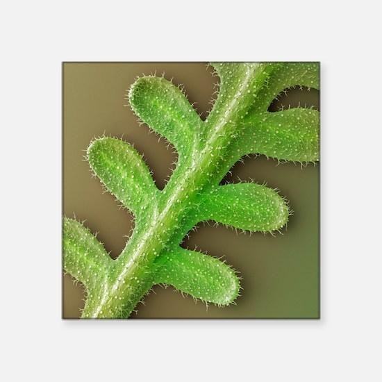 French lavender leaf, SEM - Square Sticker 3