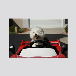 Pure breed Bichon Frise dog, cruises around lookin