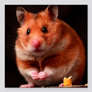 "Hamster Square Car Magnet 3"" x 3"""