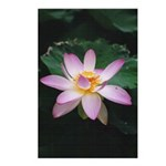 Pink Lotus Blossom Postcards (Package of 8)