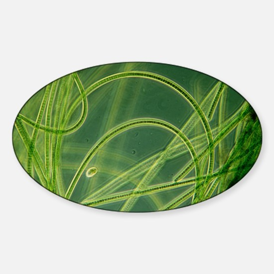 Blue-green algae - Sticker (Oval)