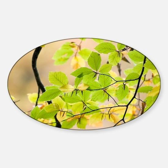 Beech leaves - Sticker (Oval)