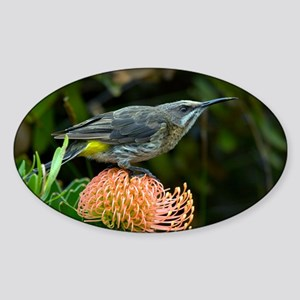 Cape sugarbird on a flower - Sticker (Oval)