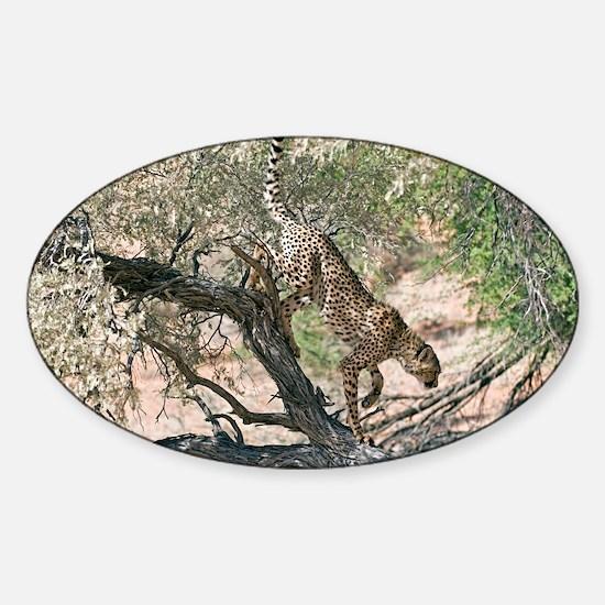 Cheetah climbing off a tree - Sticker (Oval)