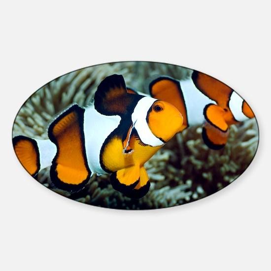 Clown anemonefish - Sticker (Oval)