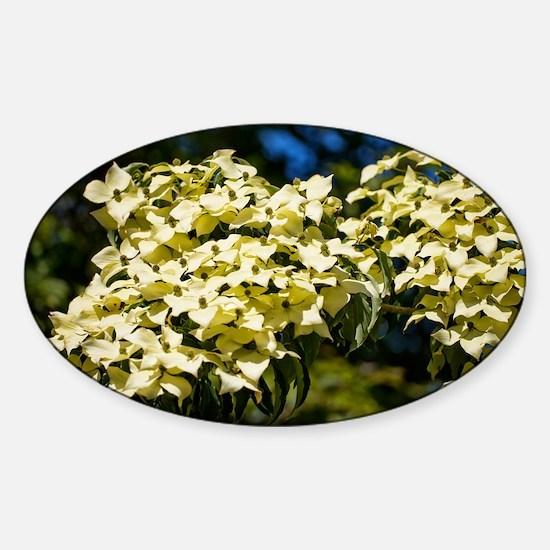 Dogwood (Cornus 'Norman Hadden') - Sticker (Oval)