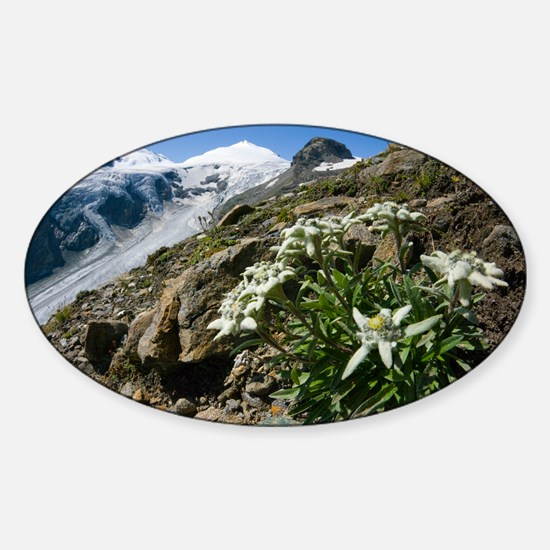 Edelweiss and glacier - Sticker (Oval)