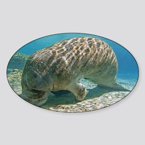 Florida manatee feeding - Sticker (Oval)