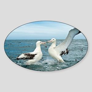Gibson's wandering albatrosses - Sticker (Oval)