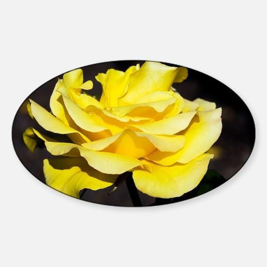 Hybrid tea rose (Rosa 'Freedom') - Sticker (Oval)
