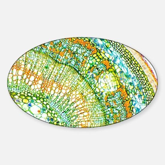 Lime tree stem, light micrograph - Sticker (Oval)
