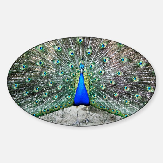 Male peacock displaying - Sticker (Oval)