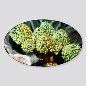 Sea squirts on coral - Sticker (Oval)