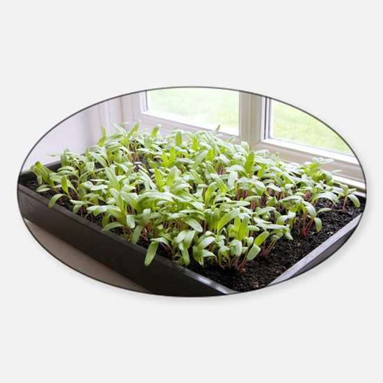 Seedlings of Perpetual Spinach - Sticker (Oval)
