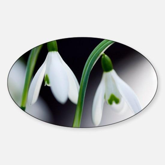 Snowdrop (Galanthus nivalis) - Sticker (Oval)