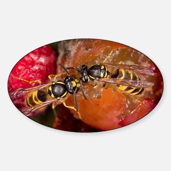 Common Wasps feeding on fruit - Sticker (Oval)