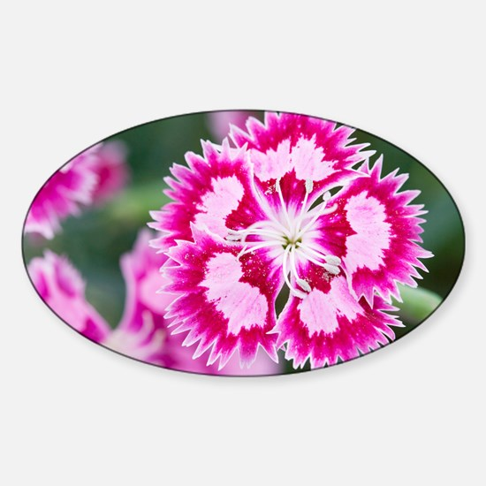 Dianthus Cranberry Ice - Sticker (Oval)