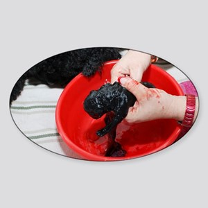 Female Poodle gives birth - Sticker (Oval)