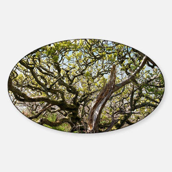 Oak tree (Quercus sp.) - Sticker (Oval)