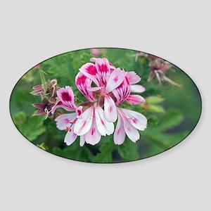 Pelargonium 'Fair Ellen' - Sticker (Oval)