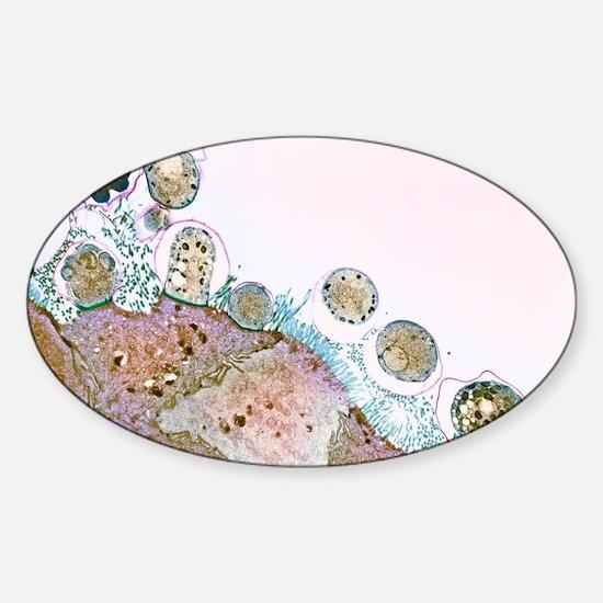 Cryptosporidiosis, TEM - Sticker (Oval)