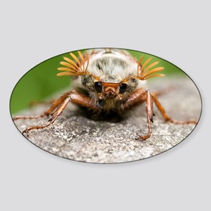 Cockchafer beetle - Sticker (Oval)