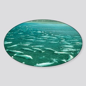 Beluga whales moulting - Sticker (Oval)